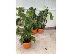 Maracuya, Passiflora edulis  100 cm