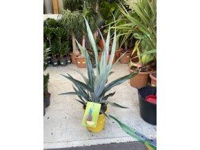 Ananas comosus  60 cm