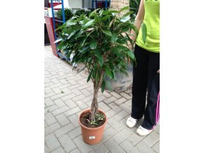 Ficus Amstel King, původ rostliny Španělsko. 120-130 cm
