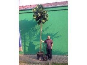 Ficus Lyrata, původ rostliny Španělsko. 300 cm