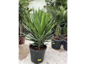 Yucca elephantipes, juka, původ rostliny Španělsko. 180-190 cm
