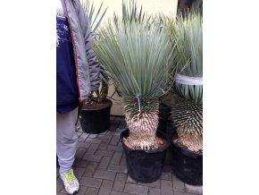 Yucca Rostrata, původ rostliny Španělsko. Výška kmene 30 cm.
