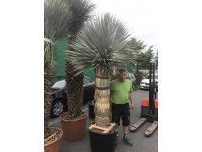 Yucca Rostrata, původ rostliny Španělsko . Výška rostliny 2,2m