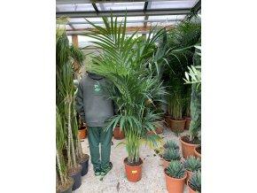 Howea Forsteriana , palma ,180-190 cm