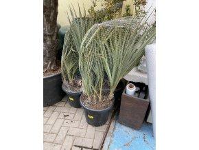 Nannorhops ritchiana silver, mrazuvdorná palma, původ palmy Španělsko. 130-150 cm