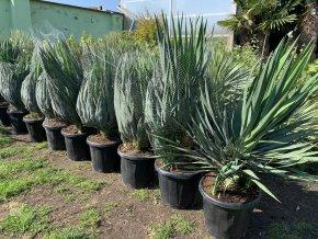 Yucca gloriosa, juka, původ Španělsko. 60 cm
