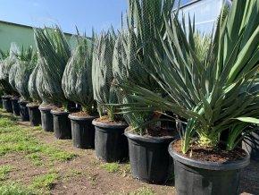 Yucca gloriosa, juka, původ Španělsko. 100 cm