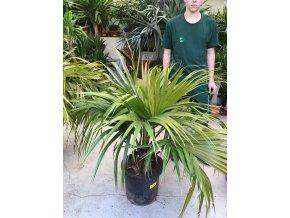 Livistona chinensis, palma, původ palmy Španělsko. 140 cm