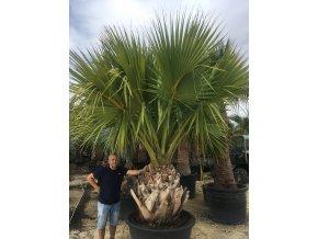 Sabal palmetto, Palmetto palma, původ palmy Španělsko. 300 cm