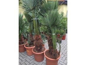 Chamaerops humilis, Trpasličí palma, Žumara, původ palmy Španělsko. 150-160 cm