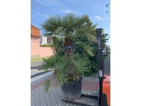 Chamaerops humilis, Trpasličí palma, Žumara. cca170 cm