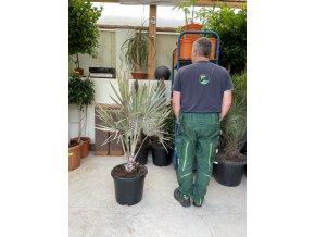 Bismarckia nobilis, Bismarckova palma, původ palmy Španělsko. 130-150 cm