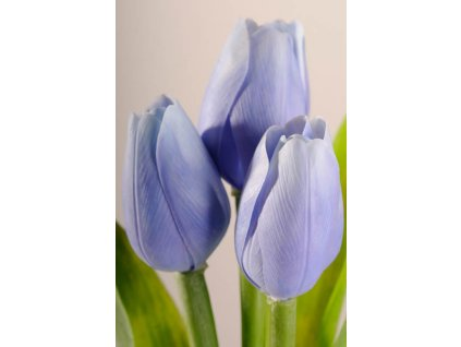 107B1 Francouzský tulipán světle modrý 40 cm
