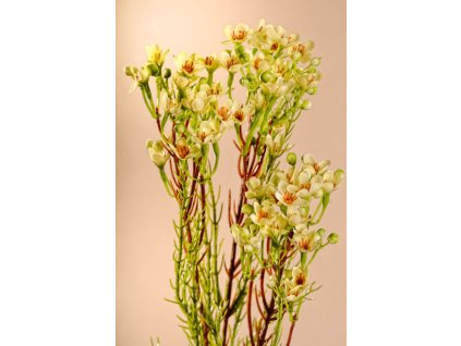 F222 W Umělá květina Waxflower bílá 78 cm