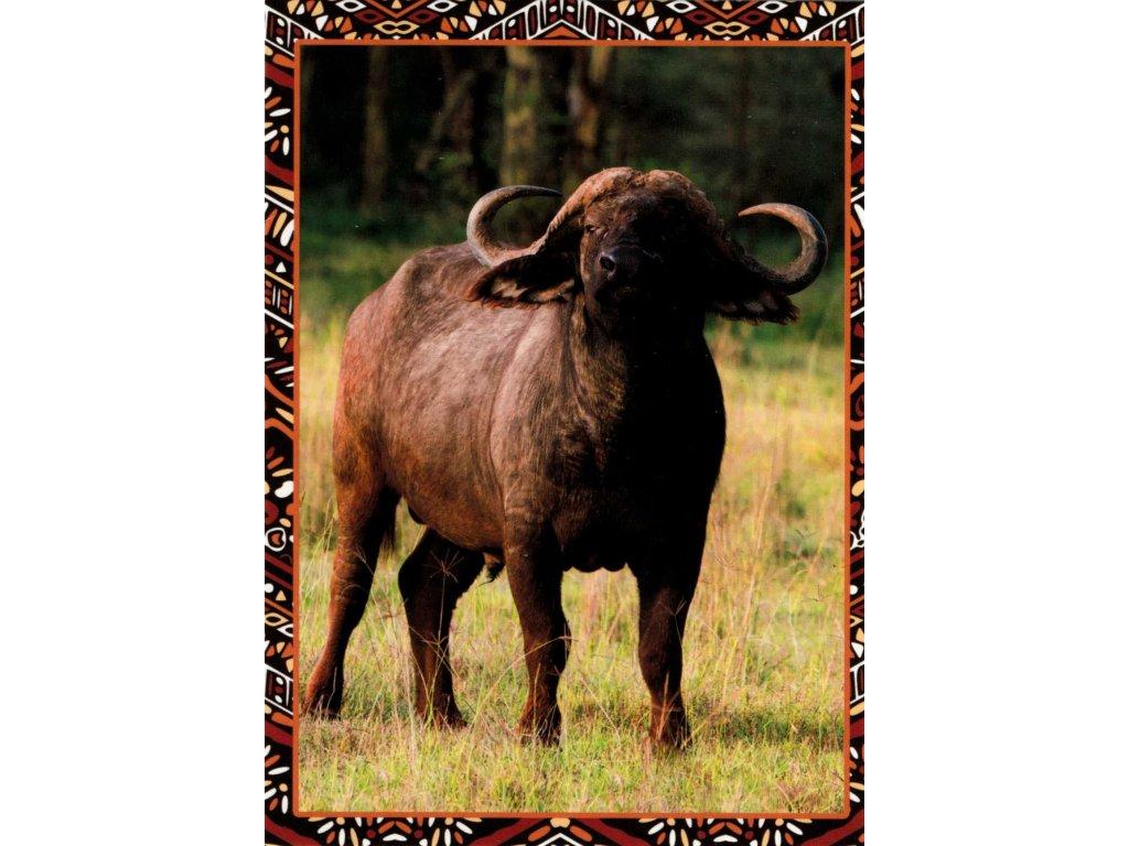 Postcard buffalo