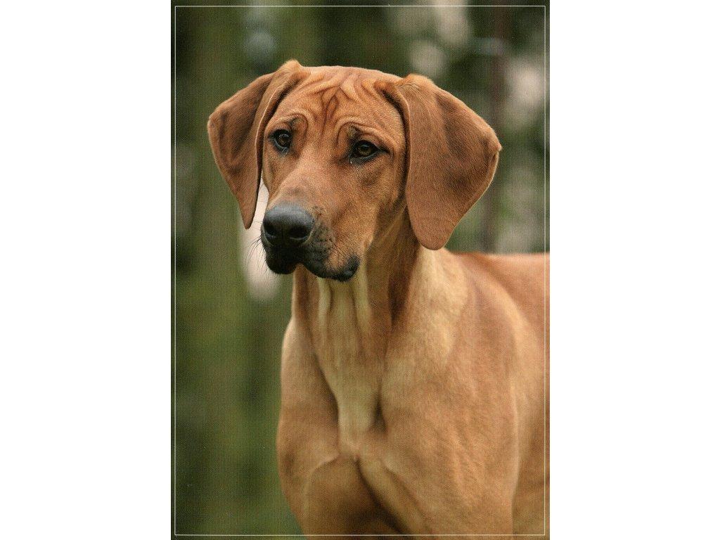 5051 1 pohlednice pes rhodesky ridgeback