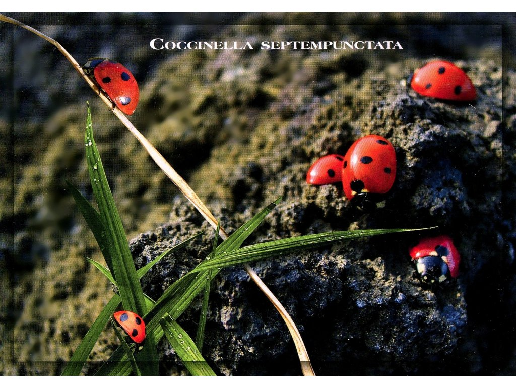Postcards Ladybug