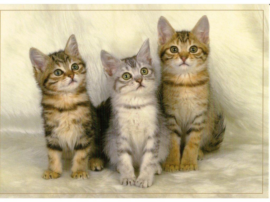 6830 1 pohlednice tri mourovata kotata na svetlem pozadi