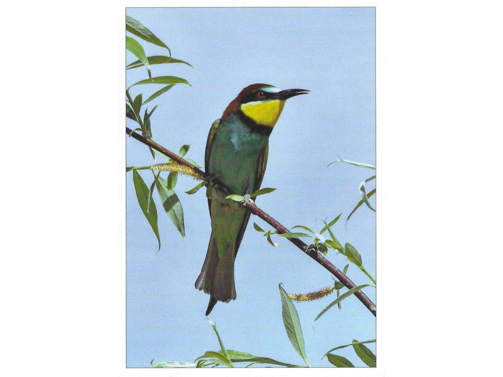 Postcard Bee-eater