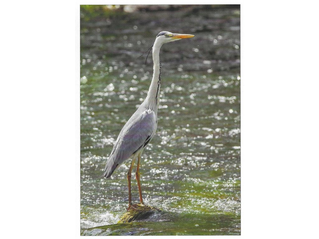 Postcard Gray Heron