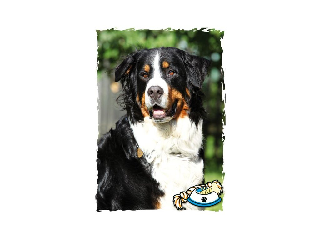 16508 pohlednice bernsky salasnicky pes