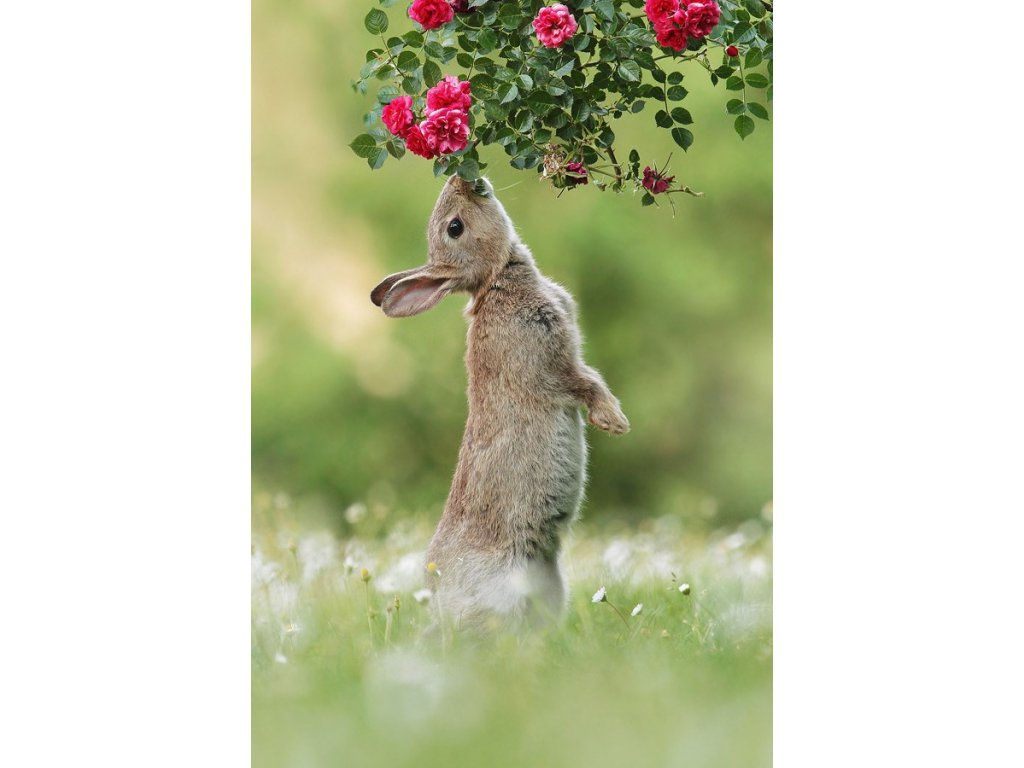 Postcard Wild Hare and roses