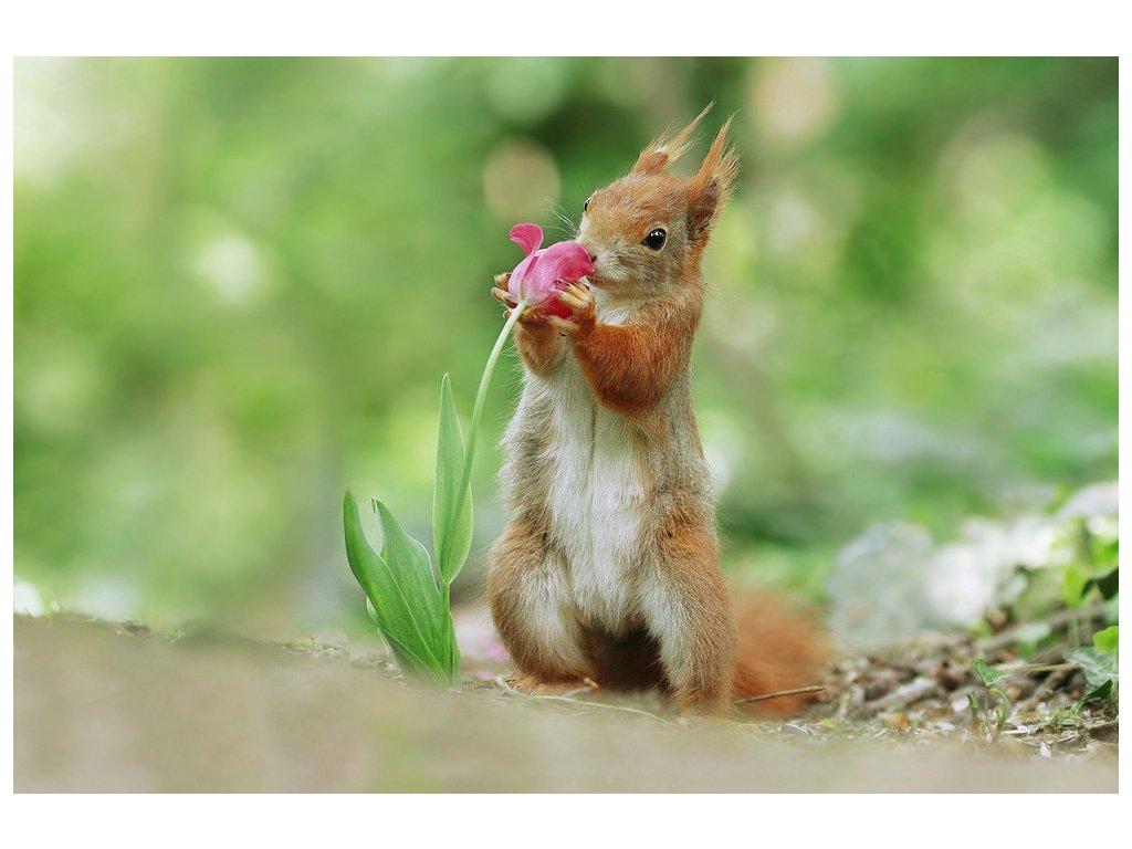 Postcards squirrel and tulip