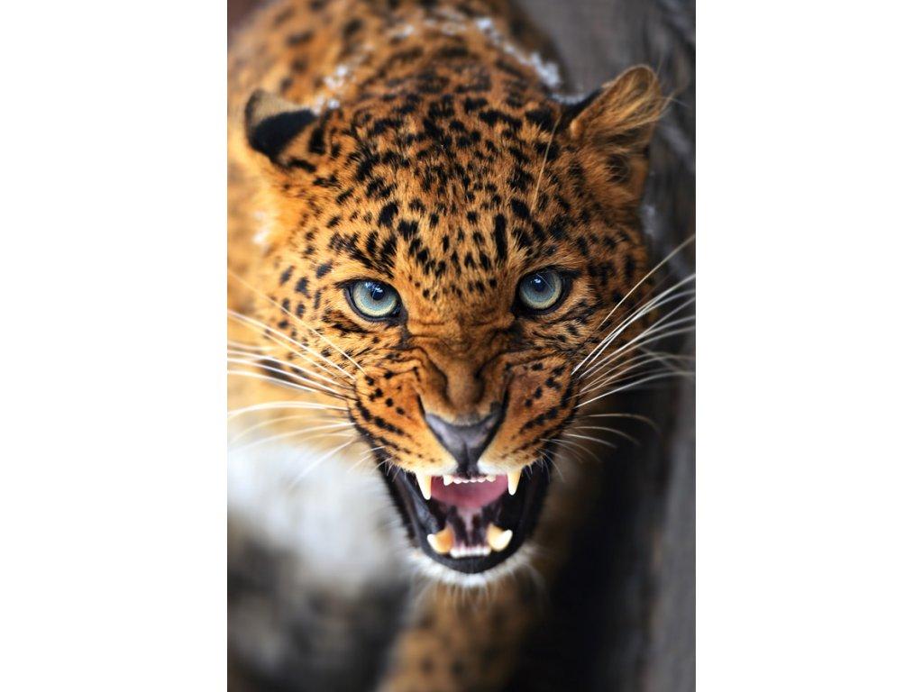 Postcard Leopard