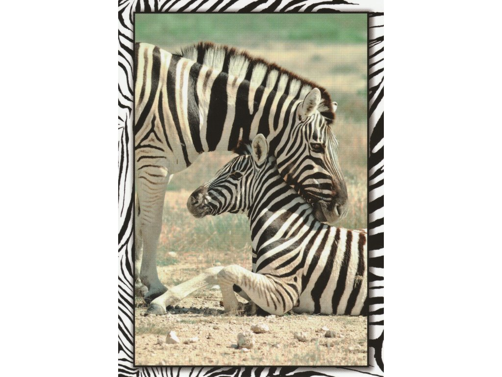 Postcard Zebras