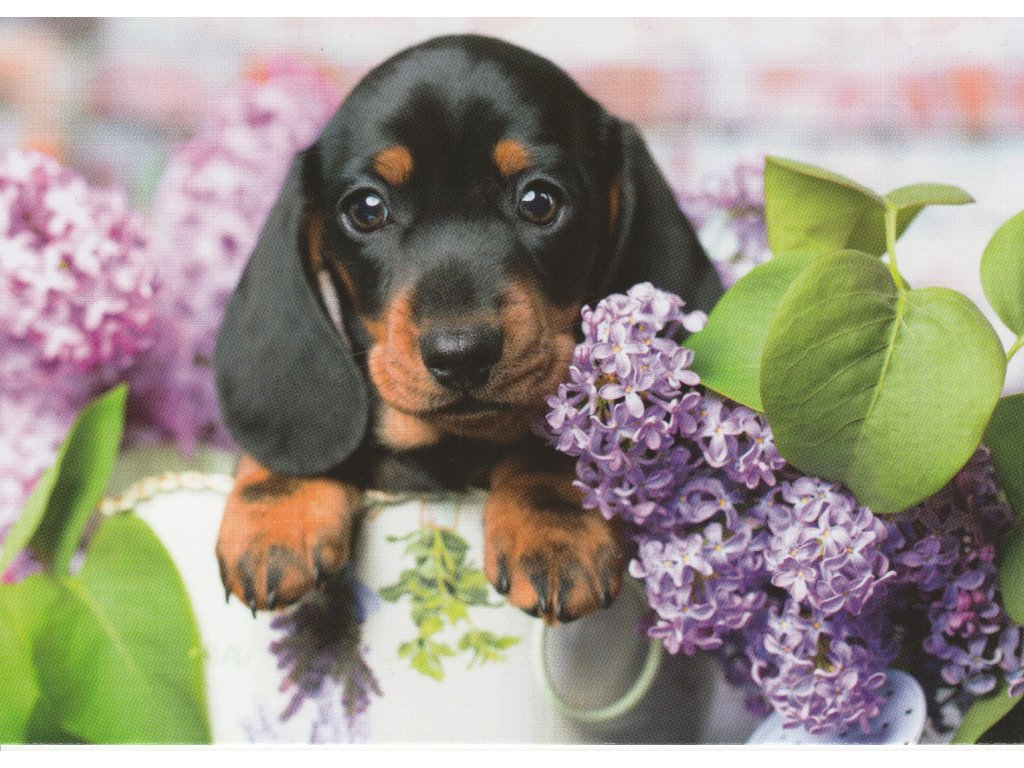 Postcard Puppy dachshund and lilac