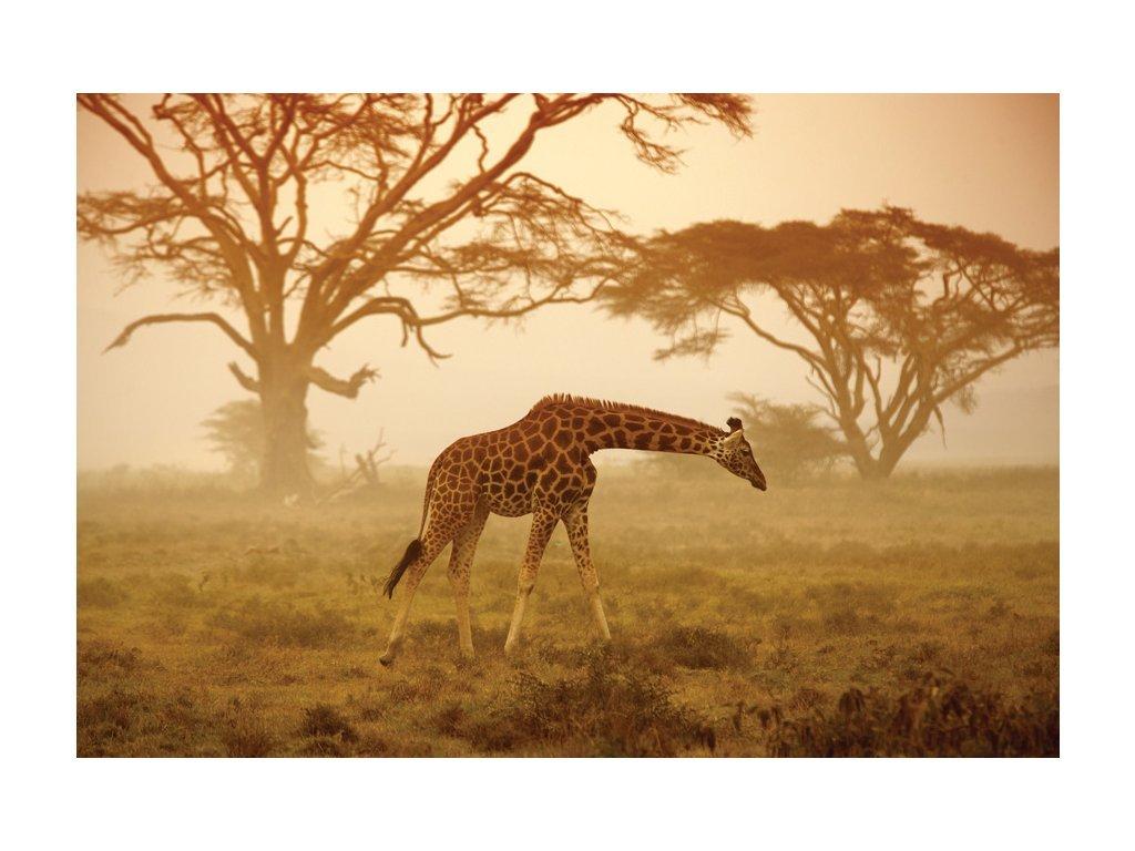 Postcard Young giraffe