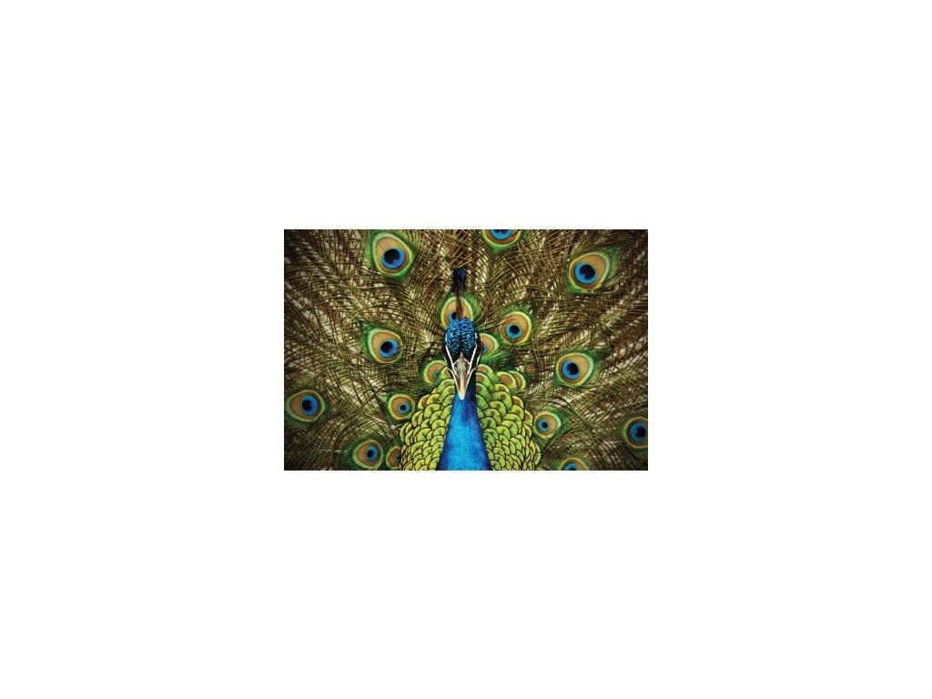 Postcard Peacock