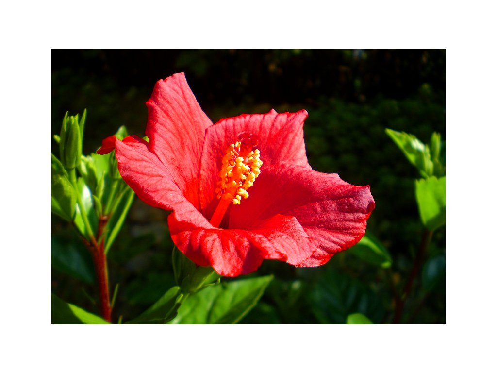 Postcard Blooming Hibiscus