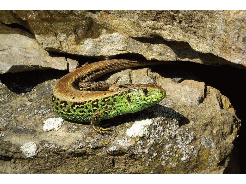 Postcard Common lizard (Lacerta agilis)
