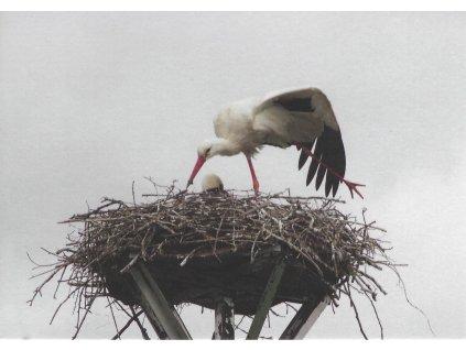 Postcards White Stork - feeding during warm-up