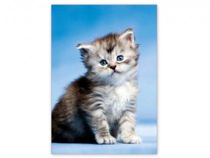 Postcard Blue-eyed kitten