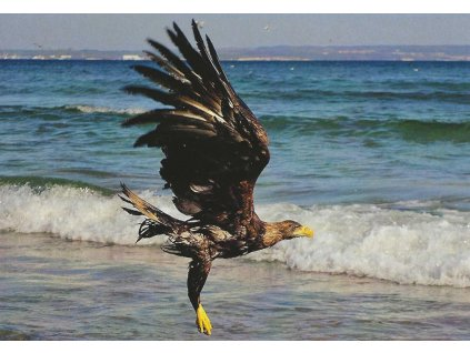 Postcard White-tailed Eagle