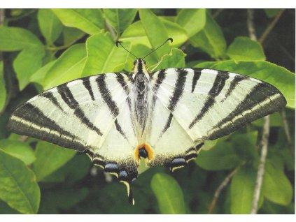 Postcard Swallowtail fruit - young beauty