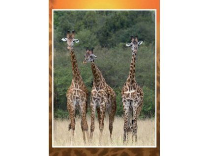8303 3 pohlednice zirafy