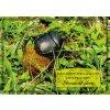Postcard dung beetle