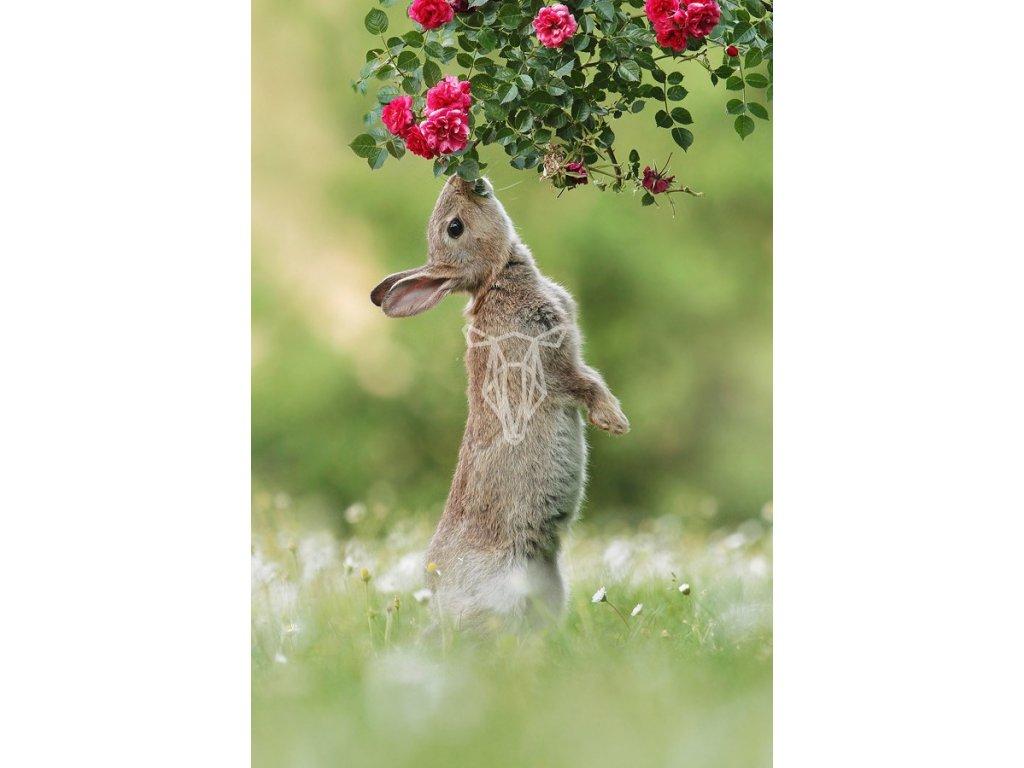 16652 pohlednice divoky zajic a ruze