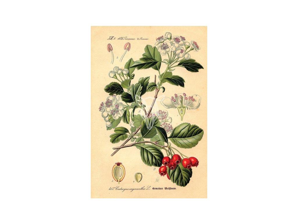 Rycina botaniczna glog width400 3