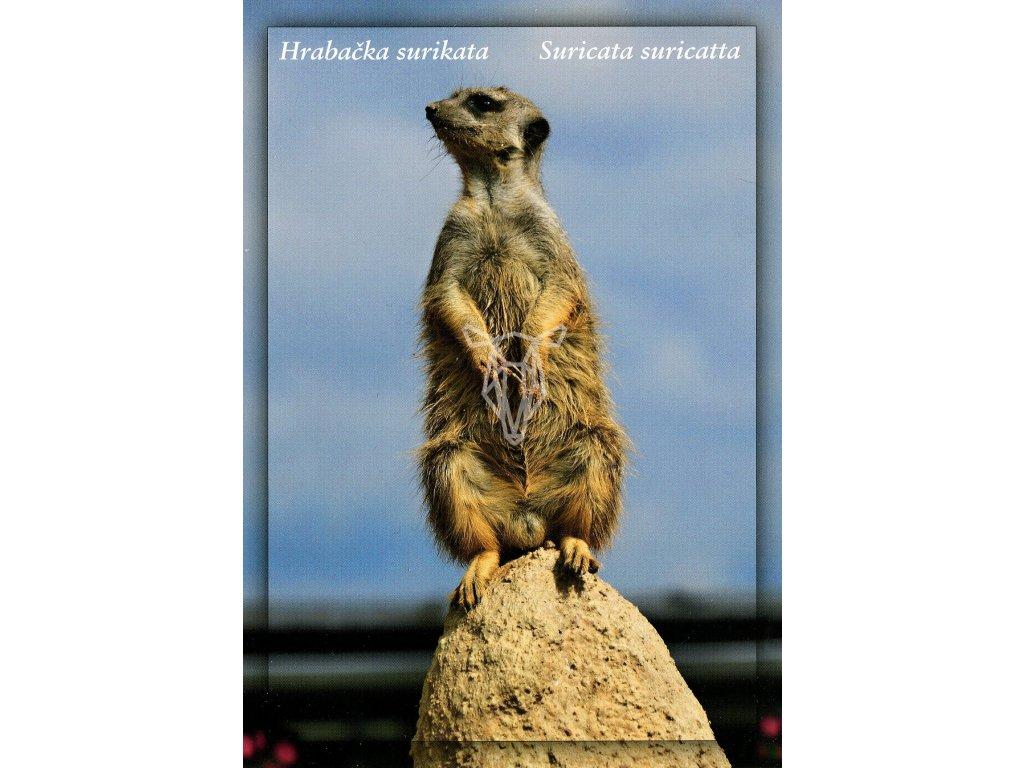 3944 2 pohlednice hrabacka surikata