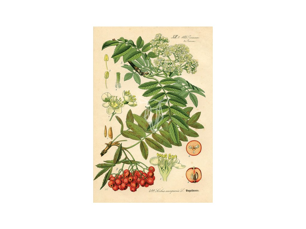Rycina botaniczna jarzebina width400 3