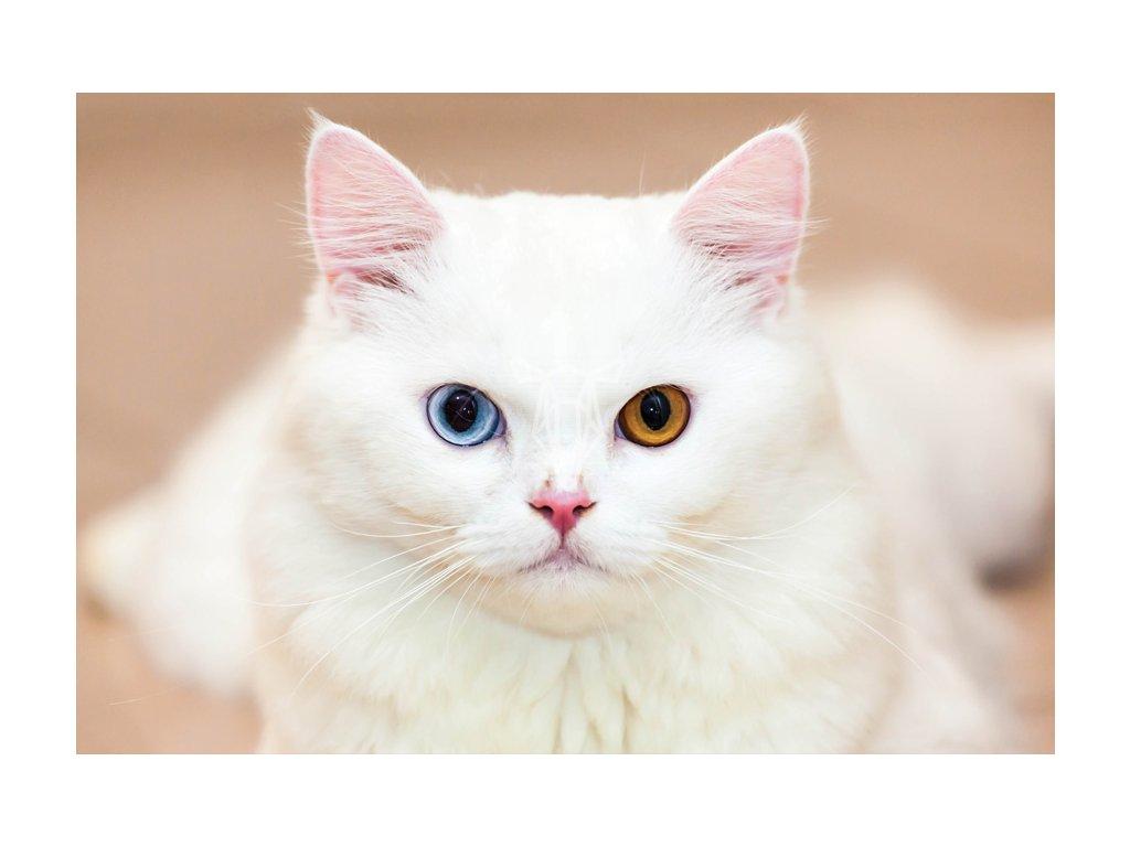 Bialy kot o dwukolorowych oczach