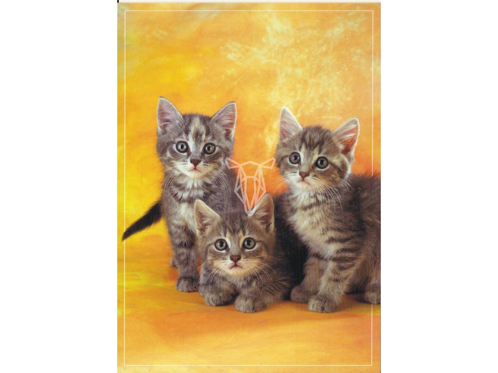 6827 1 pohlednice kotata s oranzovym pozadim