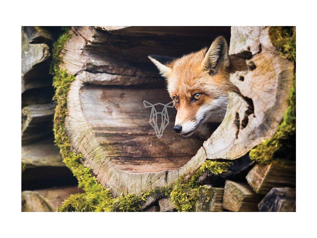 8504 1 pohlednice liska