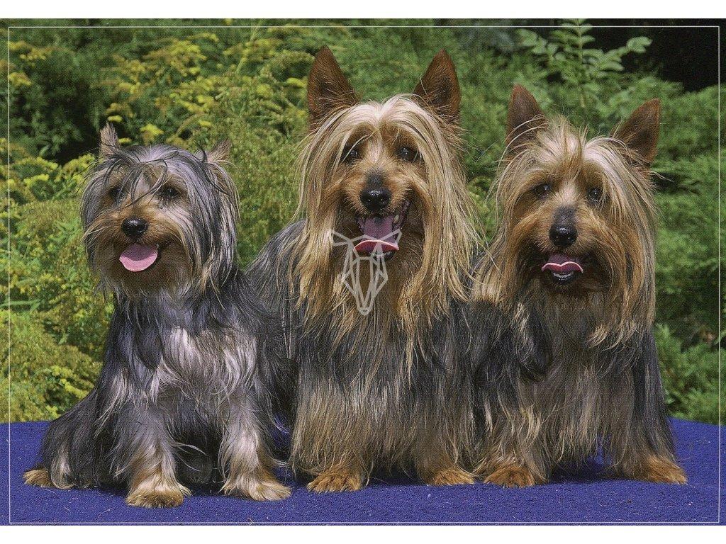 5045 1 pohlednice pes australsky silky terier