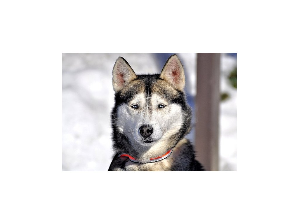 11417 2 pohlednice pes husky