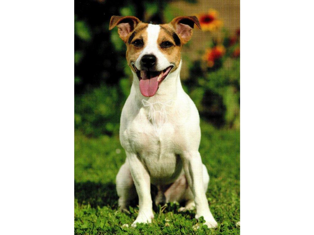 1685 2 pohlednice pes jack russel terier